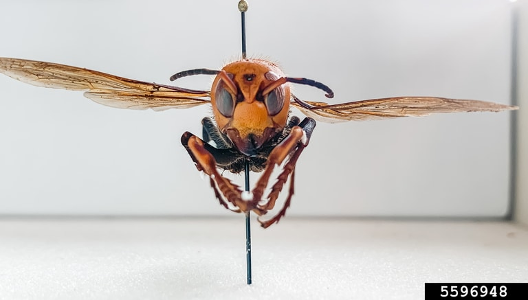 Asian Giant Hornet close-up