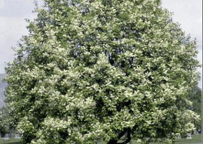 Mayday Tree / European Bird Cherry / Chokecherry