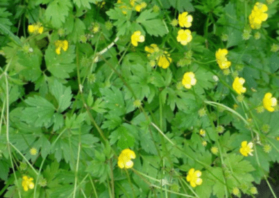 Tall and Creeping Buttercup