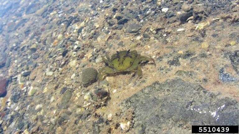 Monitoring for Invasive European Green Crab