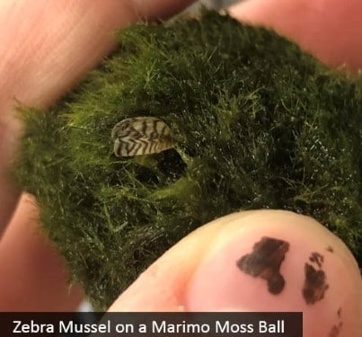 Don't dump aquariums! Keep Zebra mussels out of Alaska's waters.