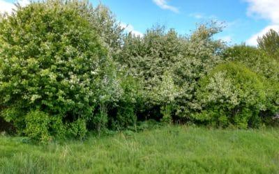 Help us remove invasive Mayday/Chokecherry Trees!